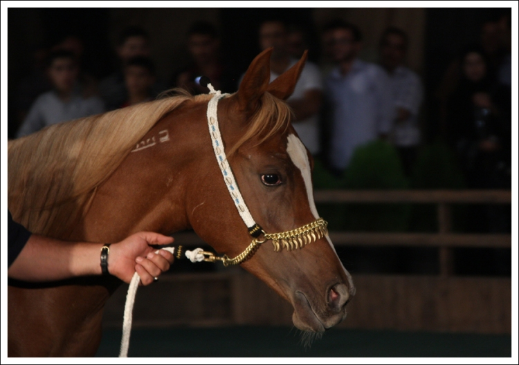 Jawahid al-Sham, filly. Auction at Damascus International Horse fair, October 2009.