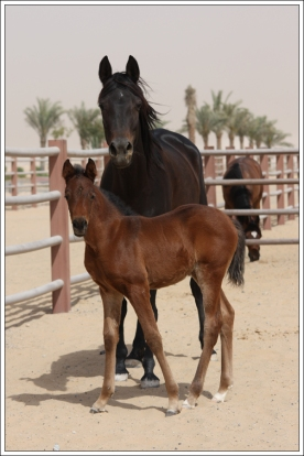 Mare and foal at Dubai Arabian Horse stud, March 2011.